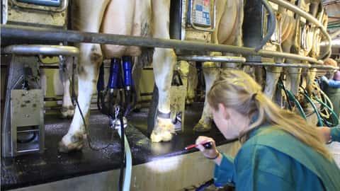 Eine Frau kontrolliert den Mortellarobefund bei Milchkühen in einem Außenmelkerkarussell.